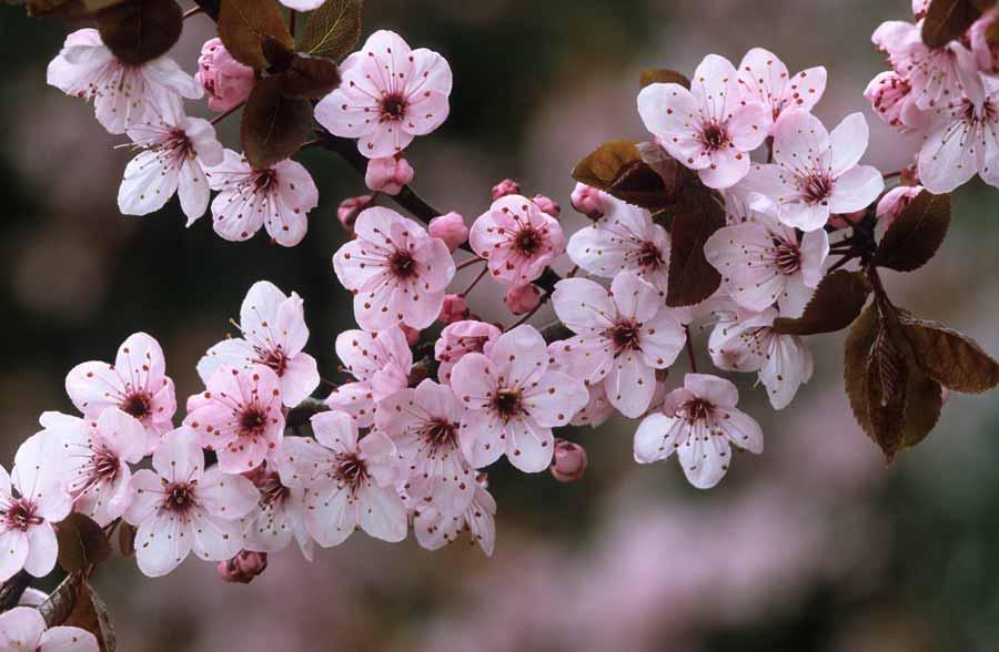 Middagexcursie bloeiende Prunuscollectie in Hemmen